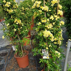 Banksiae Lutea