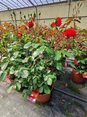 Beauty-Rose-proposte-vaso-fiorito-2